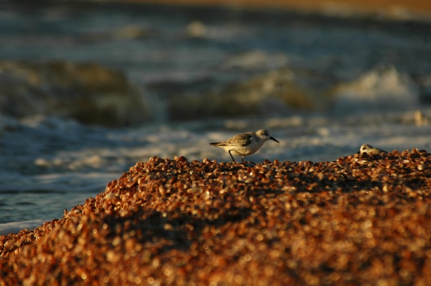 shorebird4