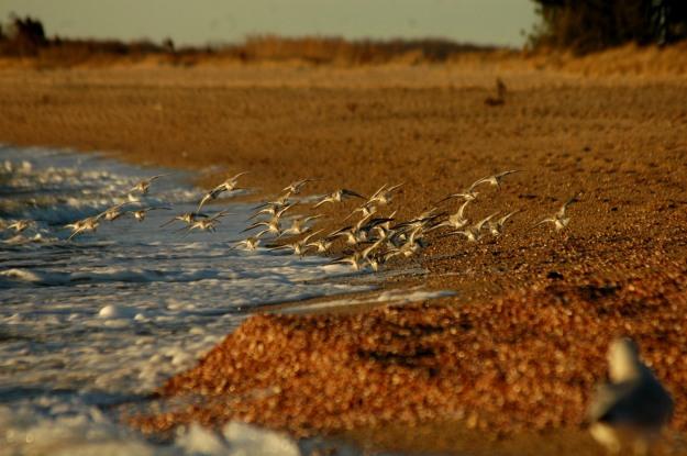 shorebirds2