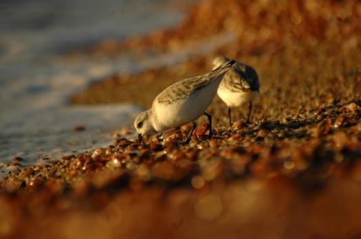 shorebirds5