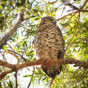 Powerful Owl 2